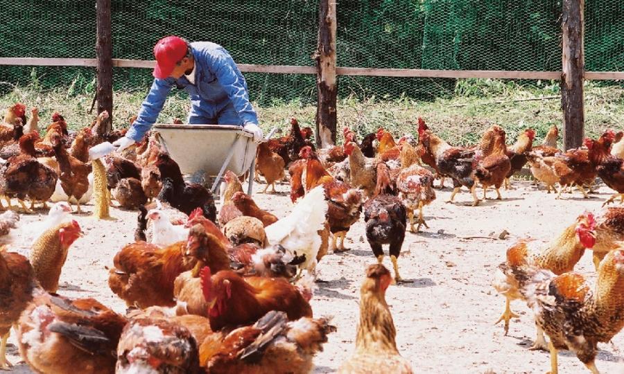 Peternakan ayam di Miyazaki (Foto: Kuruma)